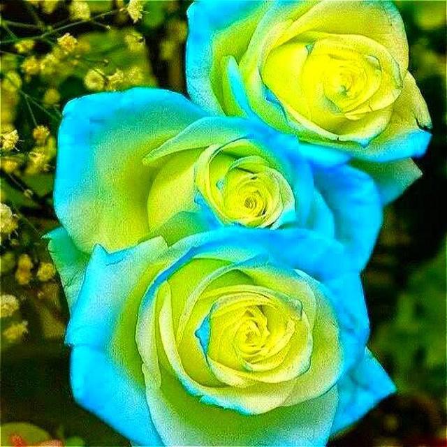 100pcs Amazingly Beauty Rose Bonsai Flower With Red Edge plants Rare Color Popular Garden flower planting