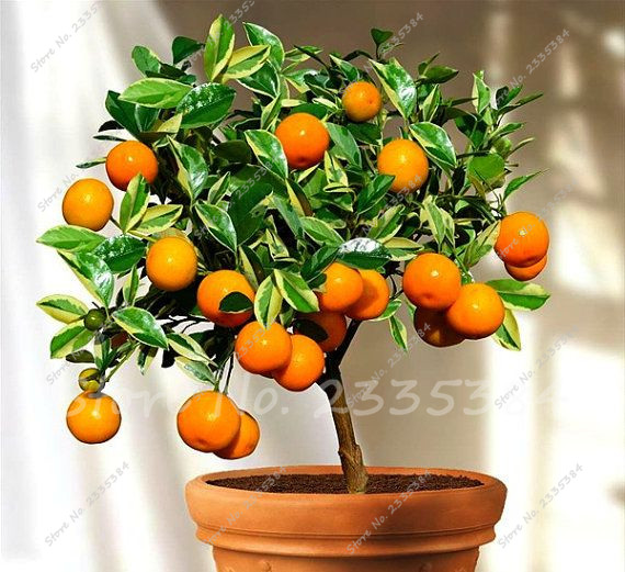 how to grow dwarf orange tree from seeds