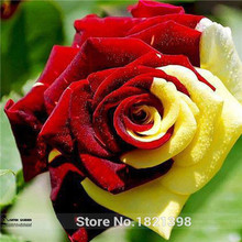 Free shipping  100 Seeds / Pack, Rare Amazingly Beautiful Red Yellow Rose Flower Seed