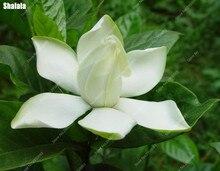 On Sale! 100 White Gardenia Seeds (Cape Jasmine )DIY Home Garden Potted  Bonsai, Amazing Smell U0026 Beautiful Flowers, Free Shipping