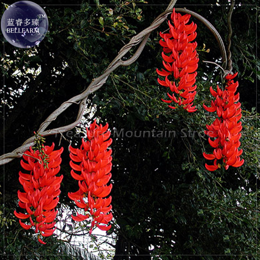 Climbing flowering vines reviews online shopping climbing rare mucuna benettii red jade vine seeds 5 seeds professional pack very beautiful woody climbing perennial flowers ts379t dhlflorist Images