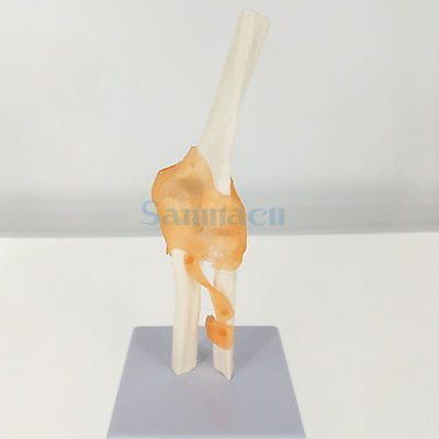Elbow Joint Anatomical Model Skeleton Human Medical Anatomy Life Size Functional Type 1 2 life size knee joint anatomical model skeleton human medical anatomy for medical science teaching
