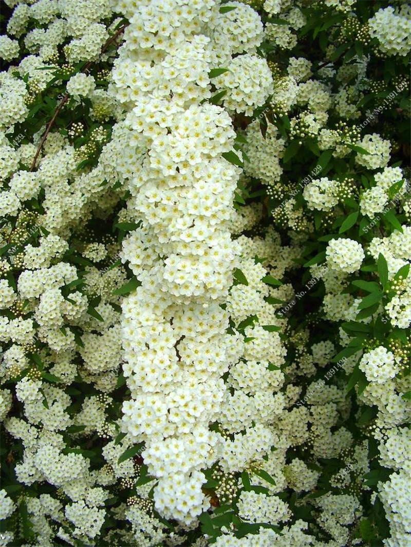 Bonsai Spiraea Japonica Seed Perennial Flower Plant DIY Home Garden Blooming Plants Tree Seedling Seed Easy Grow 20 Pcs