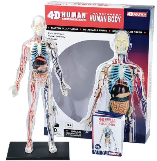 Human body science transparent bone vessels 1:6 anatomical group assembled model