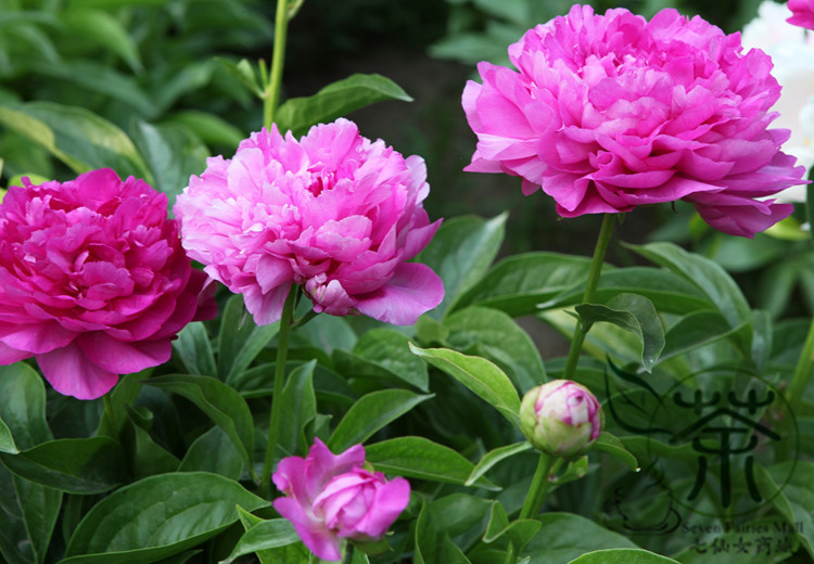 Common Garden Plants aliexpress : buy family paeoniaceae paeonia lactiflora seeds