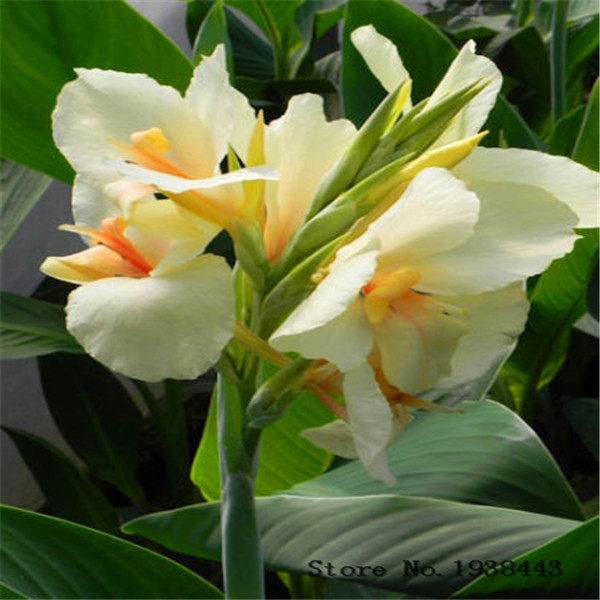 Flower Canna Lily Bulbs Ermine Tropical House Plant White Flowers 2