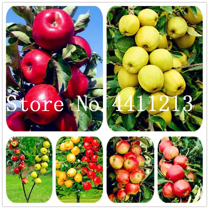 30 Pcs Dwarf Apple Bonsai Miniature Tree Fruit Can Edible