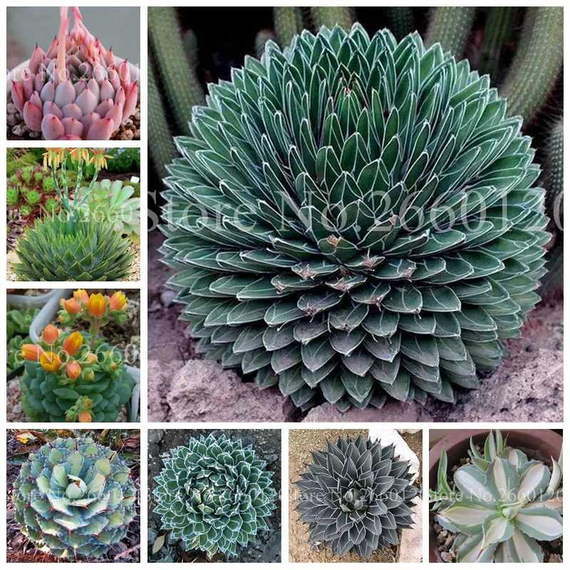 100 Pcs/ Bag Aloe Cacti Agave Bonsai, Rare Succulent Plants Indoor Planta Agave-Americana Potted Agave Plants For Home Garden