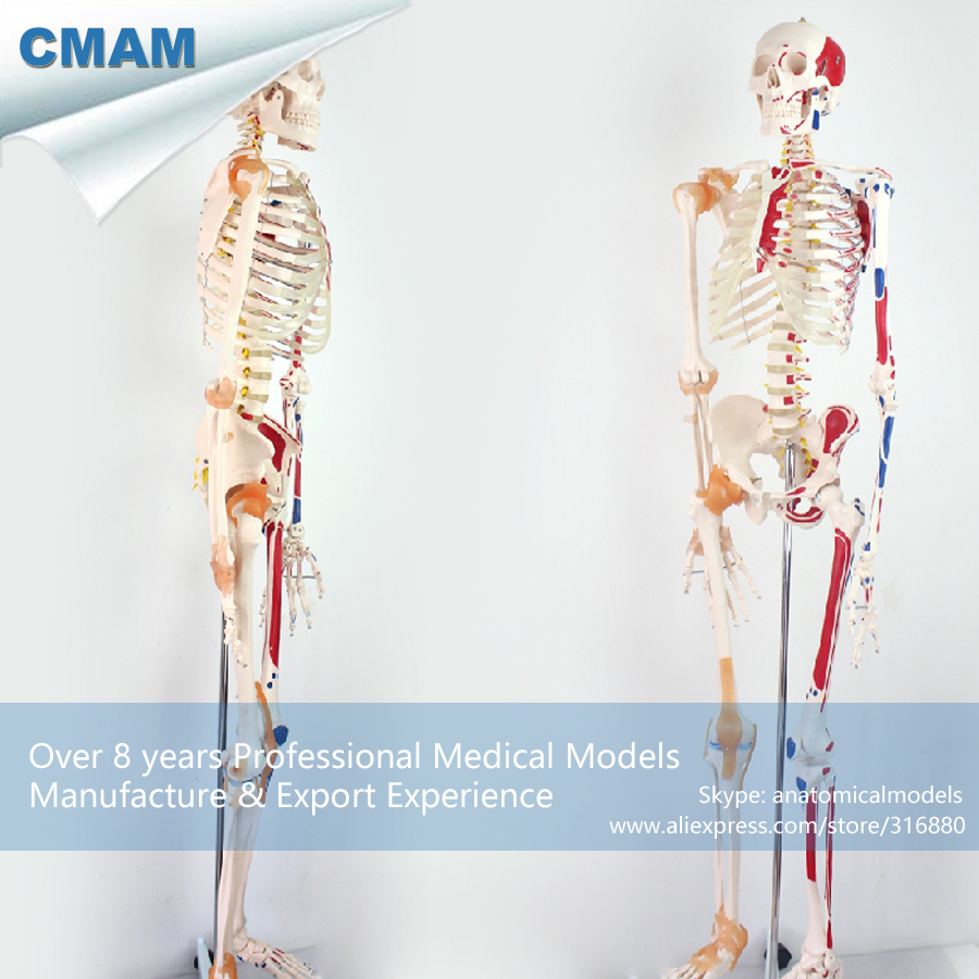 12369 CMAM-SKELETON08 Life Size 170CM Skeleton with Muscles and Ligaments, 170cm Skeleton Model for Medical Science medical science colored muscle origins and insertions in half head life size plastic skull model