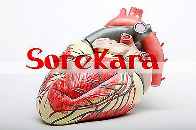 3:1 Human Anatomical Heart Anatomy Viscera Medical Teaching Organ Model School Hospital Hi-Q 4d anatomical human brain model anatomy medical teaching tool toy statues sculptures medical school use 7 2 6 10cm