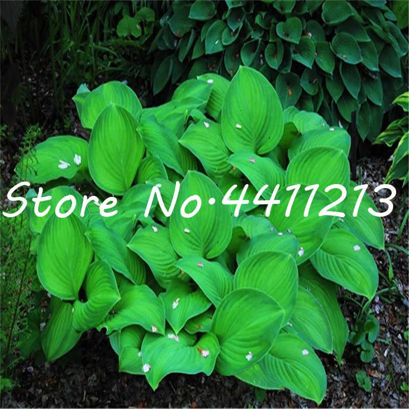 بونساي 100 قطع Hosta النباتات المعمرة موز الجنة زهرة الزنبق العشب الزينة النباتات للمنزل حديقة النباتات تغطي الأرض
