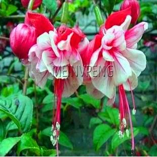 Big Promotionmixed Packing 50pcs Fuchsia Bonsai Tree Diy Plant