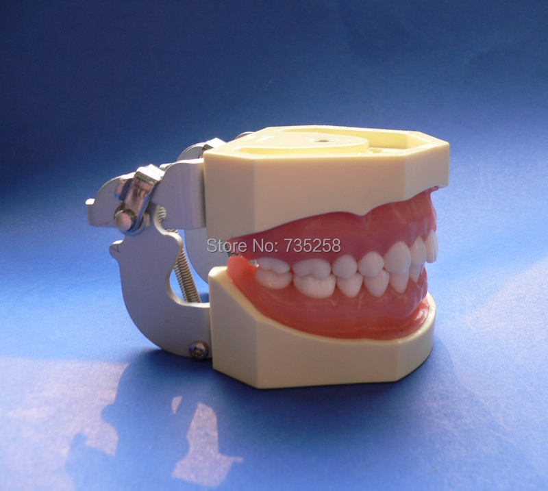Standard Tooth Jaws Model,Soft Gum Removable Dental jaw Teeth Model