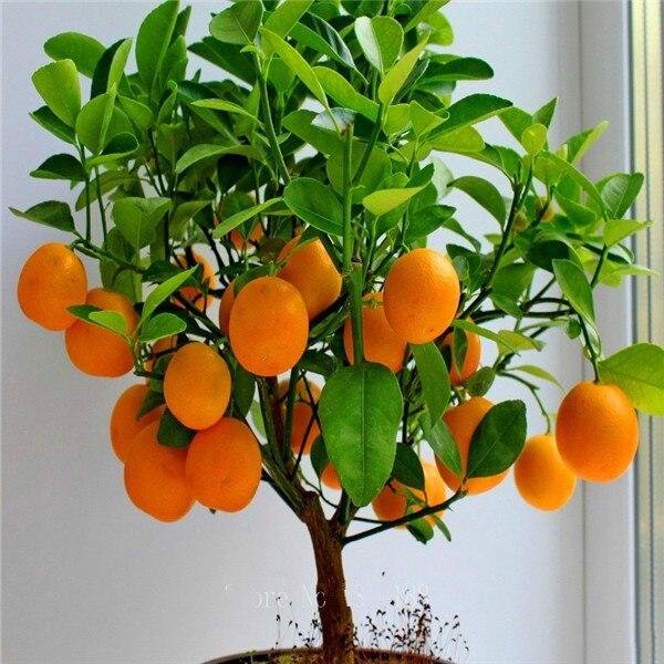 Фрукты Семена апельсинового дерева Семена карлик Вашингтон пупка расти в помещении или на открытом воздухе 30 шт. + AA