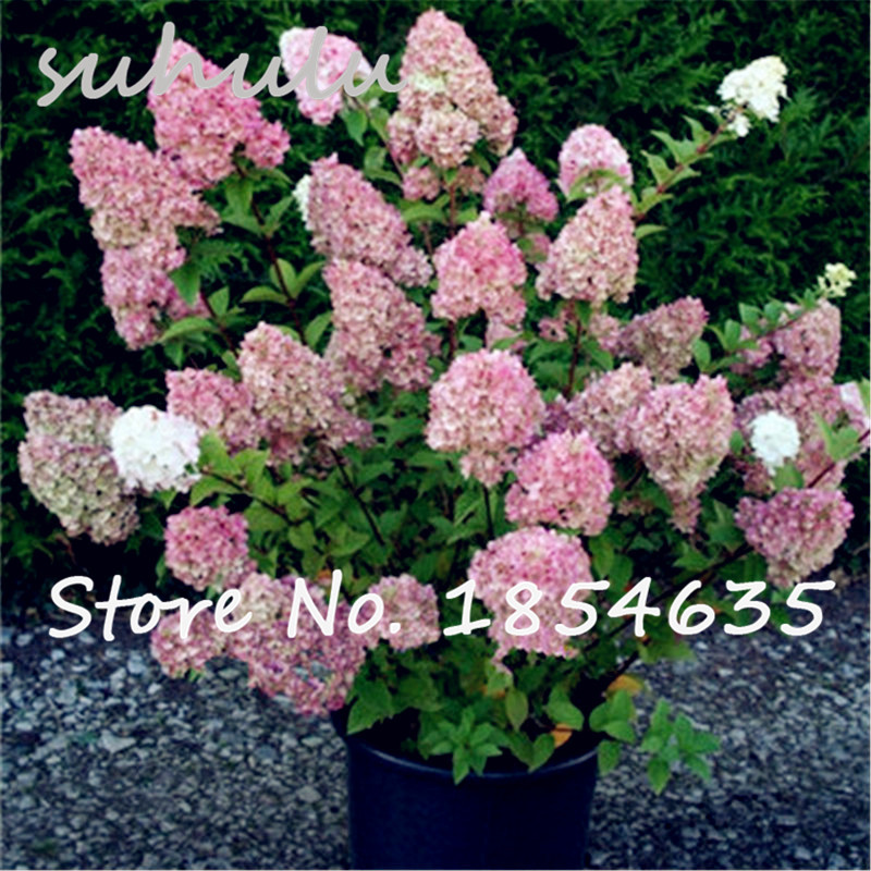 120pcs vanilla strawberry hydrangea flower seeds for planting flower bonsai or tree seeds for home garden - Vanilla Strawberry Hydrangea