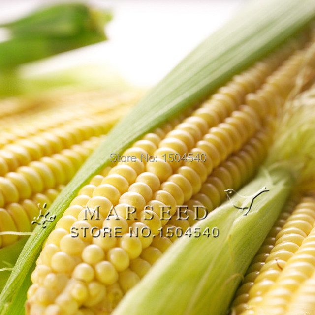 50 семена кукурузы Овощи желтый плод сырой кукурузы вкус легко растет