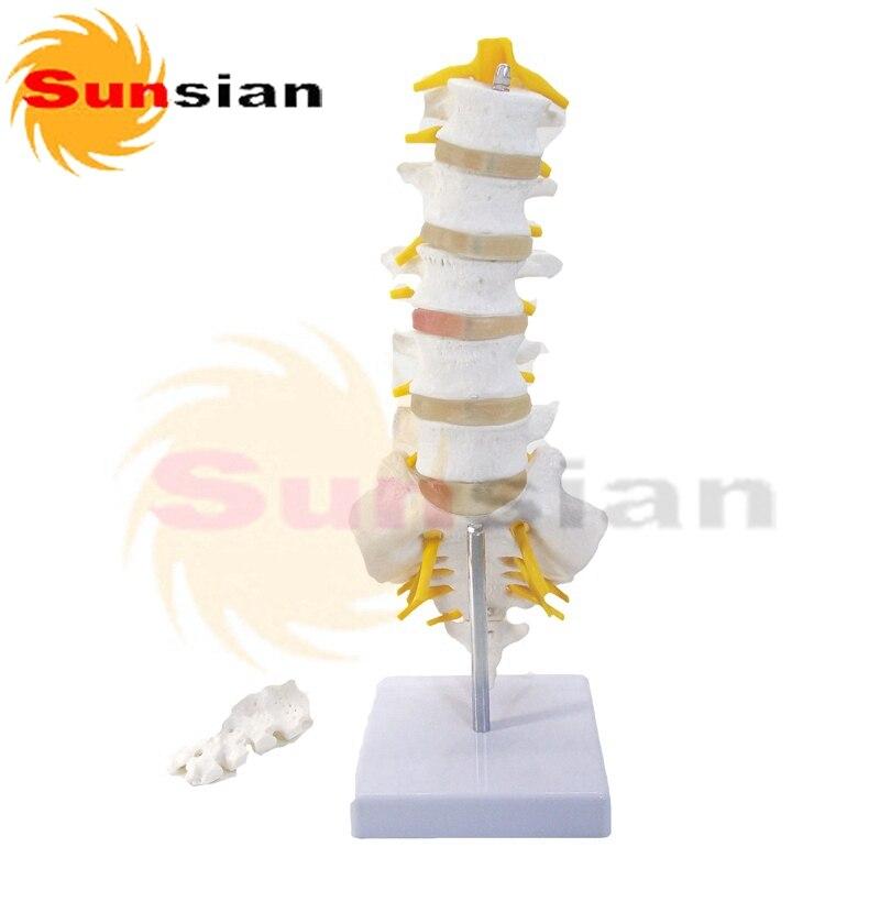 Lumbar de La Columna Vertebral, esqueleto humano modelo anatómico en ...