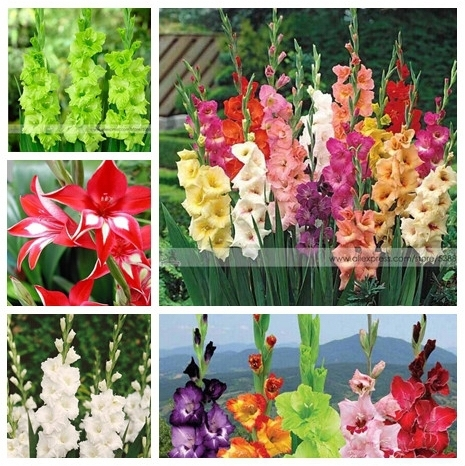 200pcs Gladiolus seeds, gladiolus flower seeds, 95% germination, DIY Aerobic potted plants, rare sword lily seeds, free shipping
