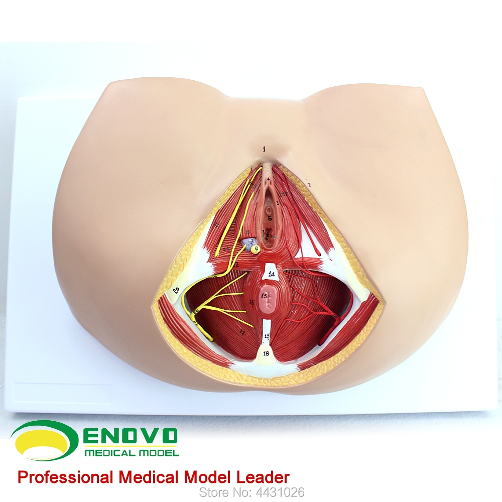 ENOVO Female perineal model vascular nerve pelvic floor muscle anatomy model gynecological urology department female pelvic fetal model nine months of pregnancy fetus uterine embryo development model fetal development model gasen sz017
