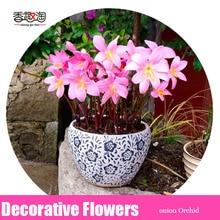 Correct color pink onion Orchid Bulb, Balcony Easy Planting Flower Pots Plant DIY Garden decoration 2pcs/bag