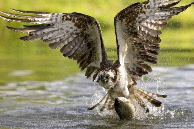 asas falcão pássaro pegar um peixe do rio peixe animal tecido de