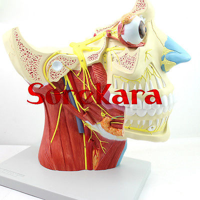 Human Anatomical 12 Pairs Cranial Nerves Anatomy Medical Model School Hospital Professional Hi-Q human female pelvic section anatomical model medical anatomy on the base