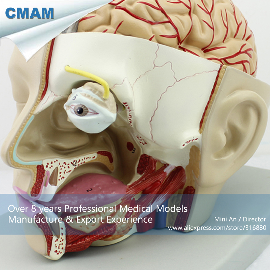 12401 CMAM-BRAIN04 Full Size 4parts Half Brain Head Dissection Medical Model, Medical Science Teaching Anatomical Models shunzaor dog ear lesion anatomical model animal model animal veterinary science medical teaching aids medical research model