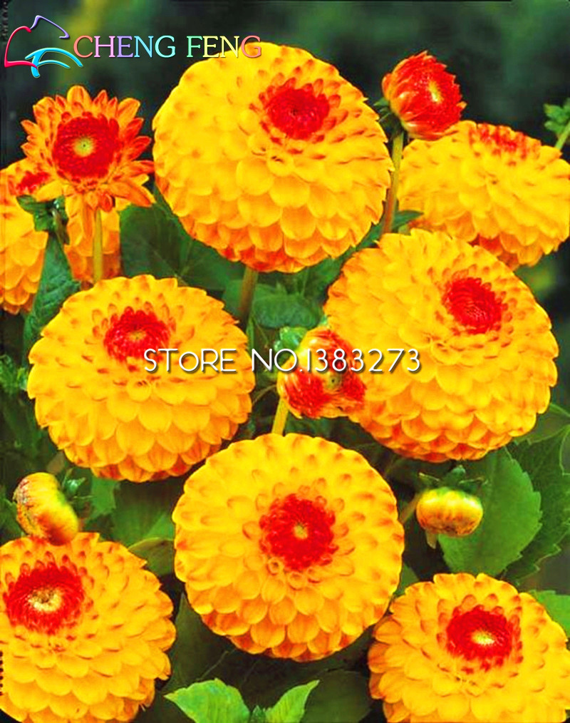 100pcs chrysanthemum plants perennial flower rose red and yellow xlmodel photo 0000 mightylinksfo
