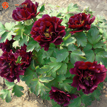Chinese Peony Seeds Black Purple Peony Flower Potted Bonsai Plant Seed 10 Particles / lot
