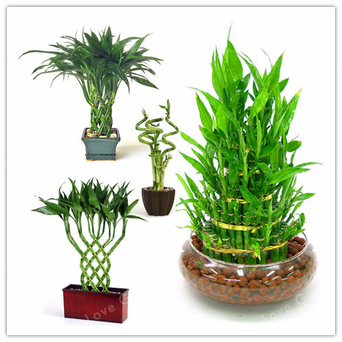 50 Pçs/saco Sorte Sementes De Bambu, pequenos Vasos de Plantas ...