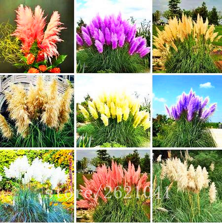 400pcs/bag pampas garss, pampas seeds, pampas grass plant, Ornamental Plant Flowers Cortaderia Selloana Grass Seeds for home garden