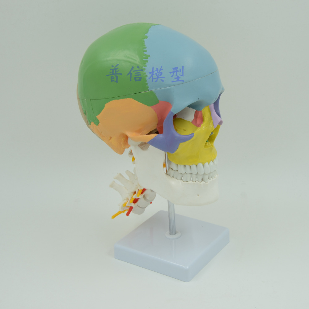 DongYun brand colored Skull skeleton model with cervical spine Medical skeleton teaching supplies dongyun brand human kidney anatomical model urinary system medical science teaching supplies