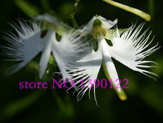 100 pcs rare angle orchid worlds rare flower japanese radiata seeds 100 pcs rare angle orchid worlds rare flower japanese radiata seeds for garden home planting white dove orchids seeds in bonsai from home garden on mightylinksfo