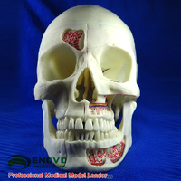ENOVO human medical simulation skull model Department of Stomatology skull cranial neurology head skull