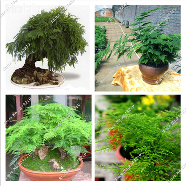 20pcs Asparagus Fern Tree Seeds Evergreen Indoor Potted Plants ...