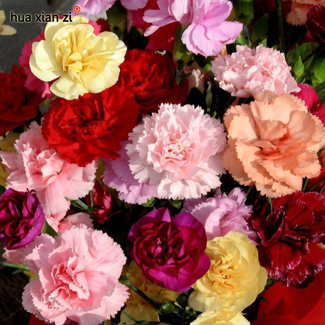 color mezclado clavel semillas de flores hermosas flores preciosas semillas para el jardn de casa 200 - Fotos De Flores Preciosas
