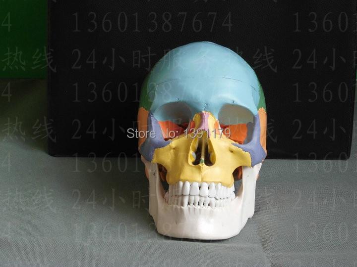 SHUNZAOR life size Human anatomy skull brain skeleton anatomical dental dentist lab anatomia model skin in trauma for bag refrig human anatomical skull