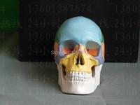 SHUNZAOR Life Size Human Anatomy Skull Brain Skeleton Anatomical Dental Dentist Lab Anatomia Model Skin In