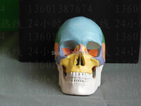 SHUNZAOR Life Size Human Anatomy Skull Brain Skeleton Anatomical Dental Dentist Lab Anatomia Model Skin In