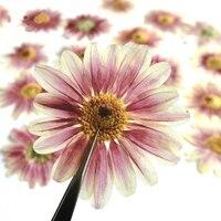 Large Persian Chrysanthemum Specimens DIY Handmade Material Dried Press Flower 1 Lot 100pcs Wholesale Free Shipment