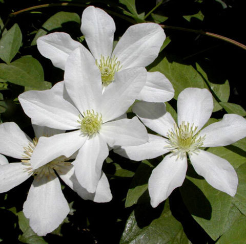 Vine Clematis Potted Seeds, 100pcs/pack