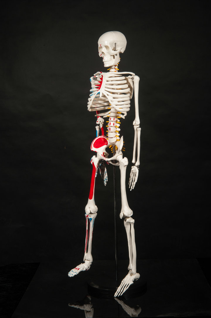 aliexpress : buy dental lab dentist 85cm human skeleton male, Skeleton