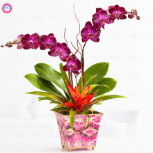 100pcs/bag Phalaenopsis Moth Orchid Seeds Indoor Bonsai Flower Seeds Perennial Blooming Plants for Home Garden Best packaging