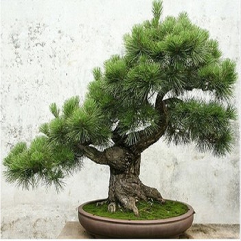 japanese pine tree seeds 20 pcs bag in bonsai from home. Black Bedroom Furniture Sets. Home Design Ideas
