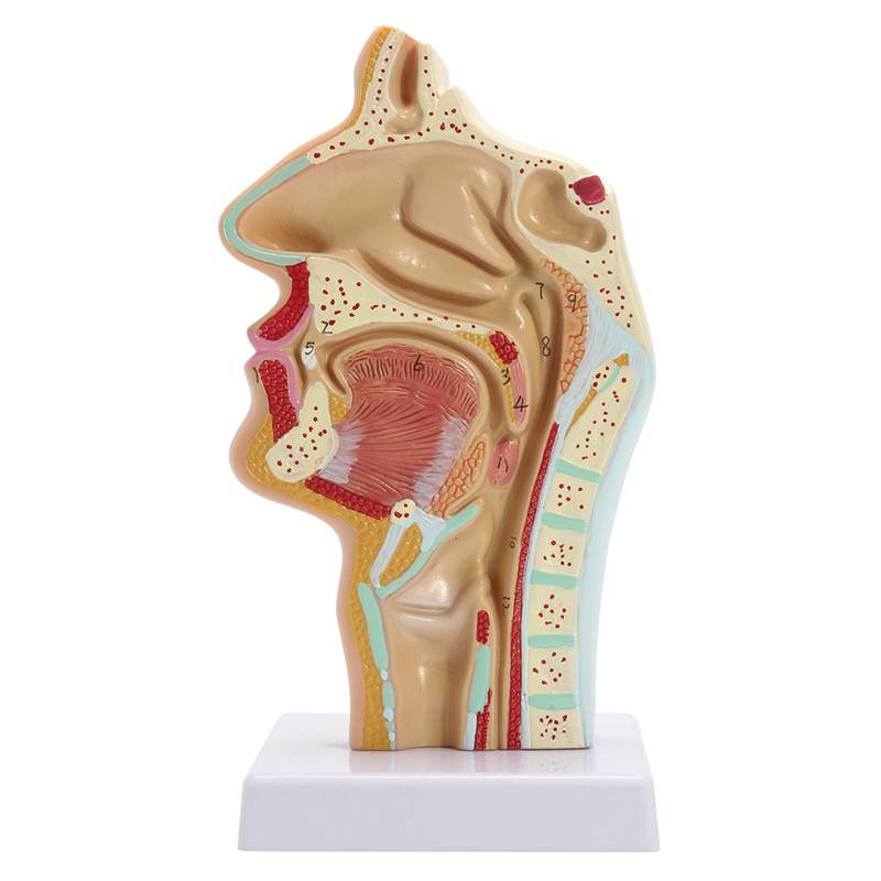 Head anatomy Human Life Size Anatomical Nasal Cavity Throat Anatomy Medical Model 70x life size anatomical human skin block model medical dermatology anatomy
