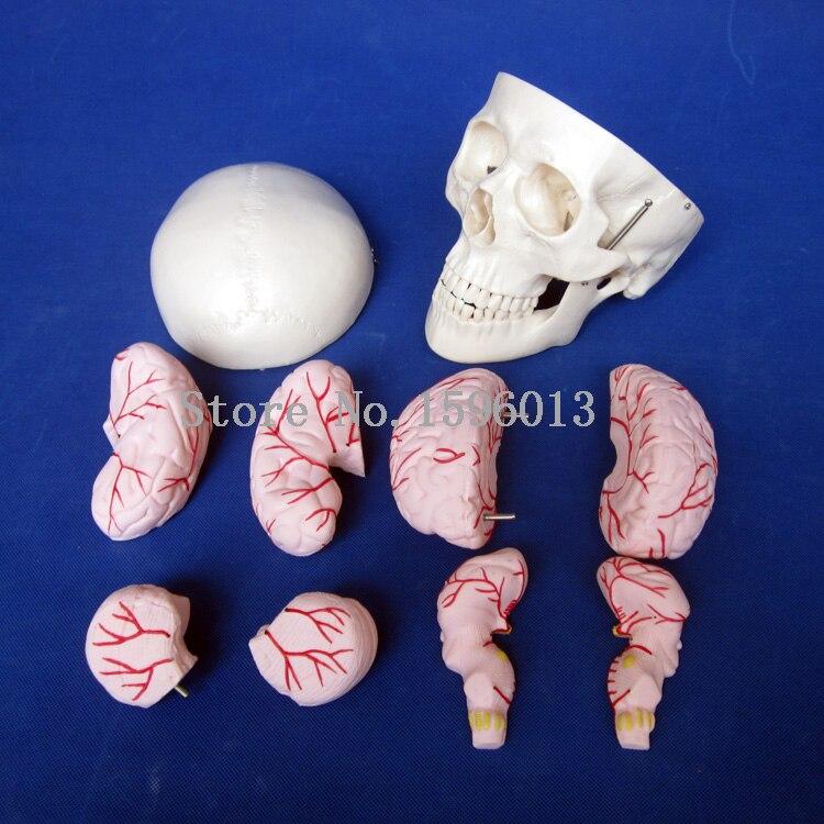 Modèle de crâne chaud avec 8 parties de l'artère cérébrale, modèle d'anatomie du crâne humain