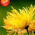Акция! 100 Семян/много Редких Фейерверк Форма Желтые Семена Хризантемы Morifolium Семена DIY Садоводство Цветочных Растений, # DBPVGH