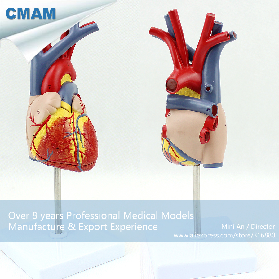 CMAM-HEART02 Real Size Human Heart Anatomy Model in 2 Parts,  Medical Science Educational Teaching Anatomical Models cmam viscera01 human anatomy stomach associated of the upper abdomen model in 6 parts