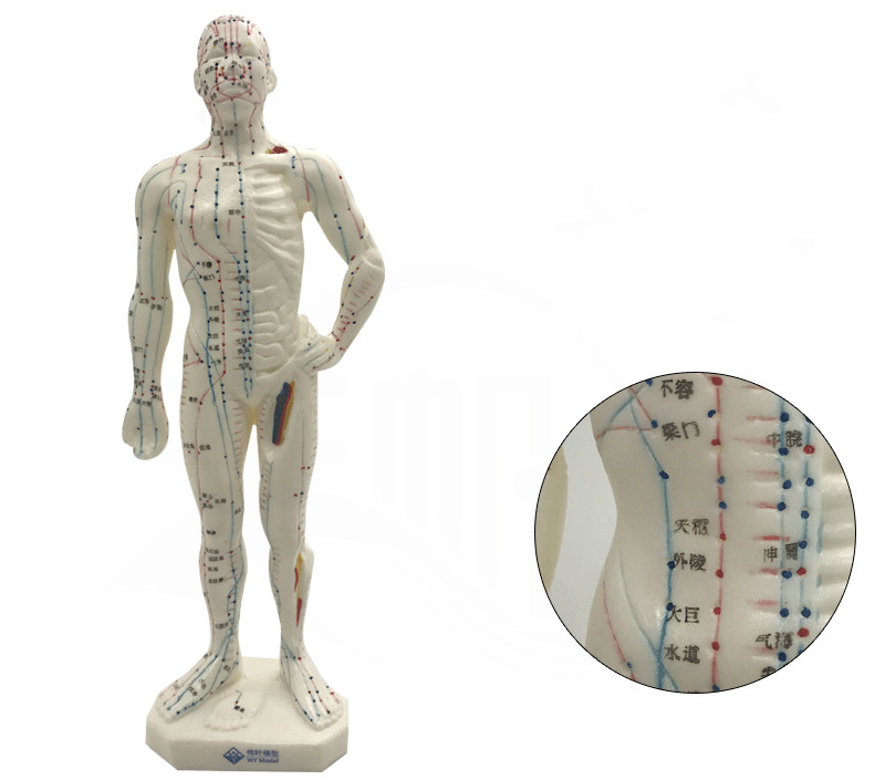 Anatomical Medical Anatomy 2019 Fashion 26cm Male Acupuncture Model Chinese Medicine