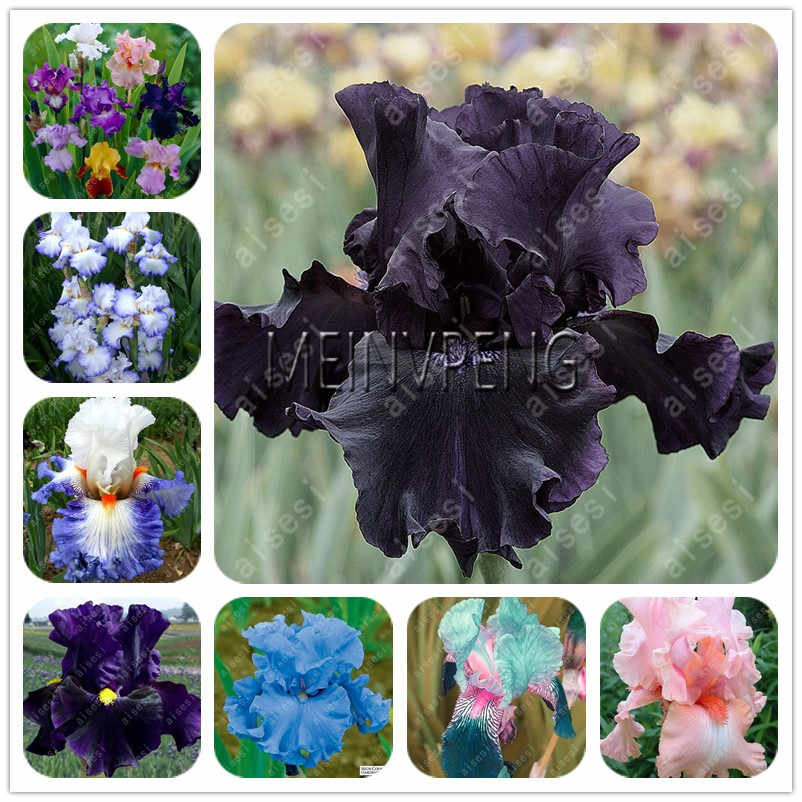 Lowest Price!flower bonsai Iris plant,Perennial garden flower,bonsai plant for outdoor 50flores/pack DIY Pot Flower Easy To grow
